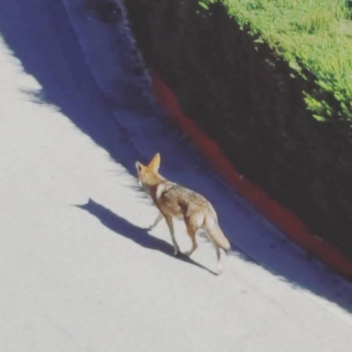 The neighborhood coyote is nothing if notpunctual